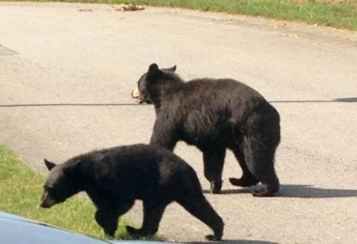 BearCubs
